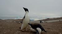 Aje tarek bazley   penguin chicks mother